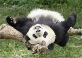 Baby panda upside down in branch