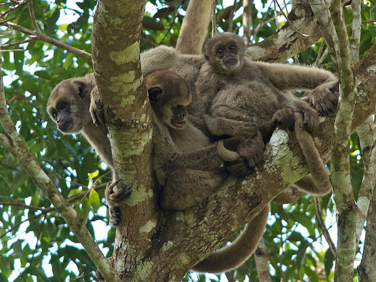 Northern muriqui (Brachyteles hypoxanthus) family play by Peter Schoen