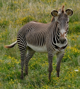 Fact Attack: Endangered Species No. 108 – Grévy's Zebra