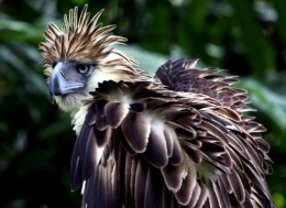 Fact Attack: Endangered Species No. 109 – The Philippine Eagle