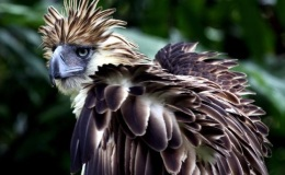 Fact Attack: Endangered Species No. 109 – The PhilippineEagle