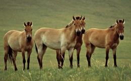 Fact Attack: Endangered Species No. 110 – Przewalski's Horse