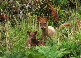 Fact Attack: Endangered Species No. 107 – The Southern Pudú
