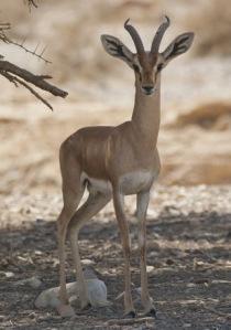 Dorcas gazelle 3