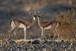 Fact Attack: Endangered Species No. 111 – DorcasGazelle