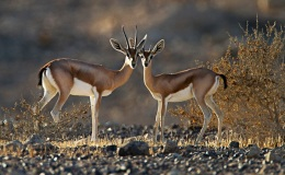 Fact Attack: Endangered Species No. 111 – Dorcas Gazelle