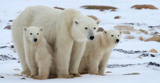 Mother and cubs, Churchill, Manitoba, Canada - Courtesy of Natural Habitat Adventures