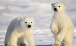 Fact Attack: Endangered Species No. 112 – The Polar Bear