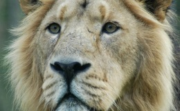 Fact Attack: Endangered Species No. 113 – The Asiatic Lion